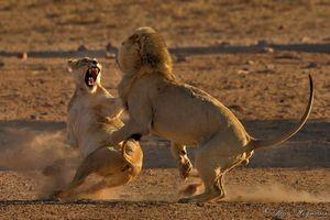 lions-fighting-in-the-kgalagadi.jpg