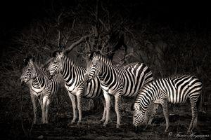 several-zebra-grazing-in-a-burnt-out-field-in-kruger-national-park.jpg